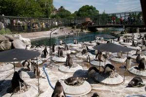 Pinguinii de la Gradina Zoologica din Edinburgh