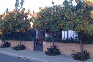 Pe strazile din Sevilia veti da de curti pline de portocali