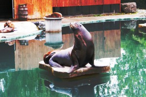 Una dintre focile din Zoo Dublin salutand vizitatorii